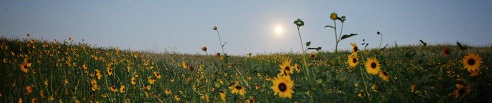 Img 8036 Sunflowers